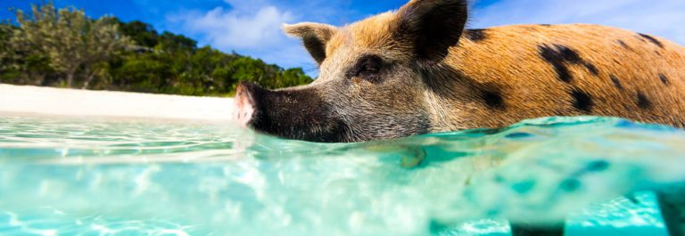 Swimming pig of Exuma island