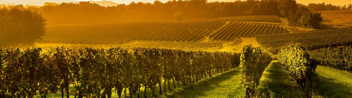 Vineyard Sunrise – Bordeaux Vineyard shutterstock_252582046-2