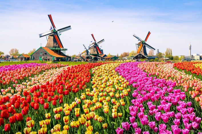 Landscape with tulips, traditional dutch windmills and houses near the canal in Zaanse Schans, Netherlands, Europe_474434224