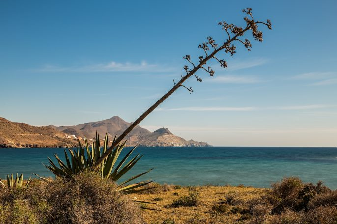 Los-Genoveses-beach.-San-Jose.-Natural-Park-of-Cabo-de-Gata.-Spain.-The-foreground-plant-is-the-pita.-Typical-of-this-area._397265035