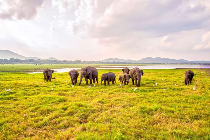 Elephants-at-Yala-National-Park_shutterstock_183432119-Copy-2